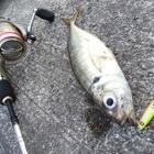 【AbuGarcia】Micro Jig FLAT PHOTO CONTESTのアジ釣果