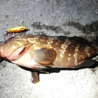 【AbuGarcia】Micro Jig FLAT PHOTO CONTESTのキジハタ釣果