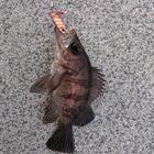 【AbuGarcia】Micro Jig FLAT PHOTO CONTESTのメバル釣果