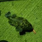 【AbuGarcia】Micro Jig FLAT PHOTO CONTESTのオウゴンムラソイ釣果