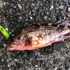 【AbuGarcia】Micro Jig FLAT PHOTO CONTESTのカサゴ釣果