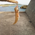 【AbuGarcia】Micro Jig FLAT PHOTO CONTESTのエソ釣果
