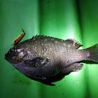 【AbuGarcia】Micro Jig FLAT PHOTO CONTESTのメジナ釣果