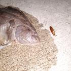 【AbuGarcia】Micro Jig FLAT PHOTO CONTESTのイシガレイ釣果