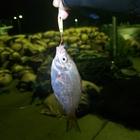 【AbuGarcia】Micro Jig FLAT PHOTO CONTESTのウミタナゴ釣果