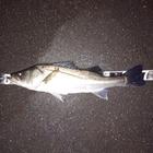 第1回【週間早いもの勝ち】シーバス3匹釣ろうの釣果