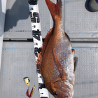 【イシグロ】マダイイベント2019春の釣果
