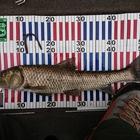 第1回【週間でかいもの勝ち】ニゴイを釣ろうの釣果