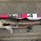 第2回【週間でかいもの勝ち】シーバスを釣ろうの釣果