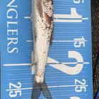 第2回【週間でかいもの勝ち】ニゴイを釣ろうの釣果
