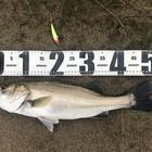 第3回【週間でかいもの勝ち】シーバスを釣ろうの釣果