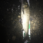 第3回【週間でかいもの勝ち】ニゴイを釣ろうの釣果