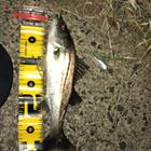第4回【週間でかいもの勝ち】シーバスを釣ろうのシーバス釣果