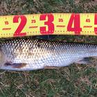 第4回【週間でかいもの勝ち】シーバスを釣ろうの釣果