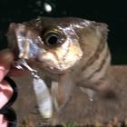 第4回【週間でかいもの勝ち】シーバスを釣ろうのメバル釣果
