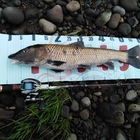 第4回【週間でかいもの勝ち】ニゴイを釣ろうの釣果