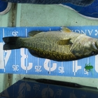 【Berkley】トップウォーター限定大会の釣果