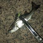 【DUO】TETRAWORKS アジングビンゴ 10月のセイゴ(タイリクスズキ)釣果