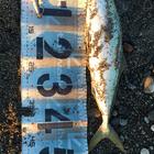 【イシグロ】青物ダービー2019 秋のイナダ釣果