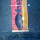 【イシグロ】メジナダービー2019 秋のメジナ釣果