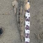 【イシグロ】フラットフィッシュダービー2019 秋のマゴチ釣果