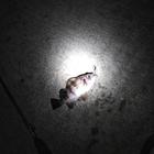 【Berkley】ガルプ!ベビーサーディン限定フォトコンテストの釣果