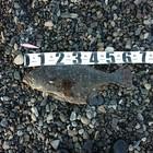 【イシグロ】ショアフラットフィッシュダービー2020 秋の釣果