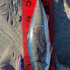 【イシグロ】ショアアオモノダービー2020 秋の釣果