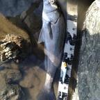 【イシグロ】シーバスダービーの釣果