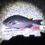 【イシグロ】フカセメジナダービーの釣果