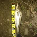 3days!! SEABASS DERBYの釣果
