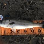 第2回【シーバス】イシグロ焼津店×DUO大会の釣果