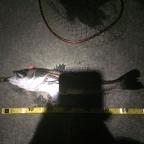 4月シーバス大会の釣果