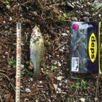2018 dpBATTLE【WESTERN】6月の釣果