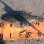第一回DUOヒラメ大会の釣果