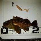 ECOGEAR presents 全国メバルのエゾメバル釣果