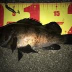 ECOGEAR presents 全国メバルのメバル釣果