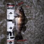 ECOGEAR presents 全国メバルの釣果