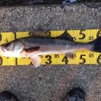 2月シーバス大会の釣果