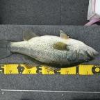 JACKALL大会(琵琶湖)の釣果