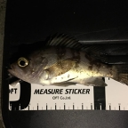 JACKALL大会(メバル)の釣果