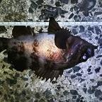 1月メバル大会-ジャッカル協賛-の釣果
