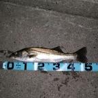 7月シーバス大会の釣果