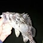 きれいな魚体選手権の釣果
