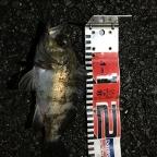 6roku【4社協賛】大会(メバル)の釣果
