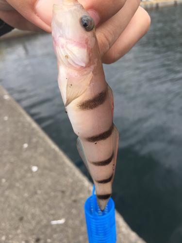 リュウグウハゼの釣果