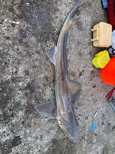 ホシザメの釣果