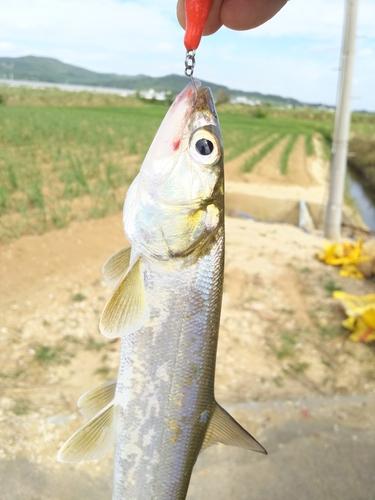 カライワシの釣果