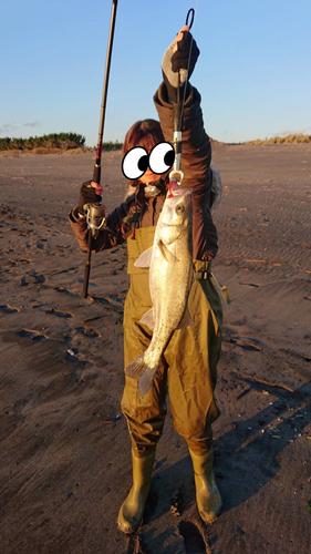 フッコ(マルスズキ)の釣果