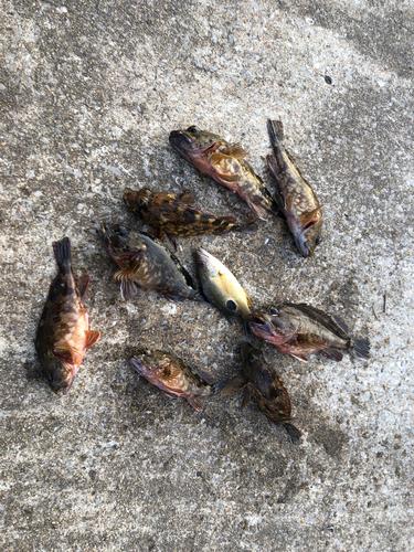 アラカブの釣果